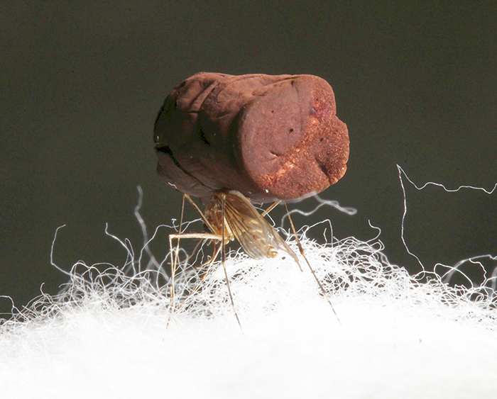 Photo of a mosquito standing on cotton fibers with a sample of ultra-low density gold aerogel on its back